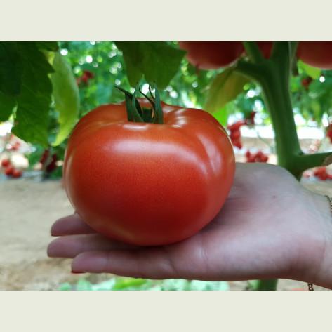 СИГНОРА F1 / SIGNORA F1 - томат индетерминантный, Esasem
