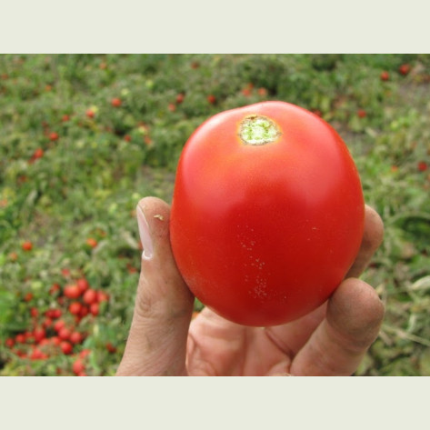 ВОЛЛИ РЕД F1 / VOLLI RED F1 - томат детерминантный, Esasem