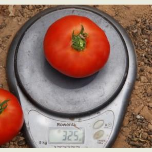 НАДА F1 / NADA F1 - томат индетерминантный, Esasem